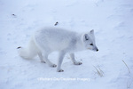 01863-00814 Arctic Fox (Alopex lagopus) Churchill MB Canada