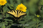 03023-00206 Eastern Tiger Swallowtail (Papilio glaucus) on Sunflower (Helianthus decapetalus, plenus)   IL