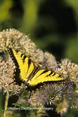 03023-01006 Eastern Tiger Swallowtail (Papilio glaucus) on Joe Pye Weed (Eupatorium maculatum)  Marion Co., IL