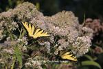 03023-01118 Eastern Tiger Swallowtails (Papilio glaucus) on Joe Pye Weed (Eupatorium maculatum)  Marion Co., IL