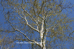 65008-00206 Sycamore tree in spring (Platanus occidentalis)  St Louis, MO