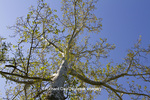 65008-00208 Sycamore tree in spring (Platanus occidentalis)  St Louis, MO