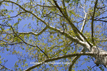 65008-00209 Sycamore tree in spring (Platanus occidentalis)  St Louis, MO
