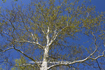 65008-00211 Sycamore tree in spring (Platanus occidentalis)  St Louis, MO