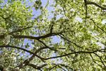 65008-00212 White flowering tree in spring , St Louis, MO