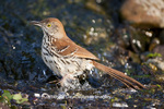 01403-00720 Brown Thrasher (Toxostoma rufum) bathing, Marion Co., IL