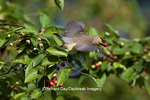 01415-02904 Cedar Waxwing (Bombycilla cedrorum) flying with berry from Serviceberry Bush (Amelanchier canadensis), Marion Co., IL