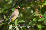 01415-03011 Cedar Waxwing (Bombycilla cedrorum) eating berry in Serviceberry Bush (Amelanchier canadensis), Marion Co., IL