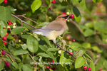 01415-03014 Cedar Waxwing (Bombycilla cedrorum) eating berry in Serviceberry Bush (Amelanchier canadensis), Marion Co., IL