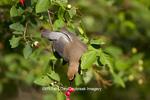 01415-03106 Cedar Waxwing (Bombycilla cedrorum) eating berry in Serviceberry Bush (Amelanchier canadensis), Marion Co., IL