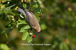 01415-03114 Cedar Waxwing (Bombycilla cedrorum) eating berry in Serviceberry Bush (Amelanchier canadensis), Marion Co., IL