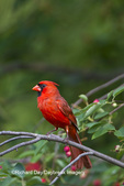 01530-20802 Northern Cardinal (Cardinalis cardinalis) male in Serviceberry Bush (Amelanchier canadensis) Marion Co., IL