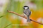 01299-03220 Carolina Chickadee (Poecile carolinensis) in flower garden, Marion Co., IL