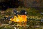 01611-09419 Baltimore Oriole (Icterus galbula) male bathing, Marion Co., IL