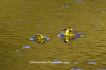 02471-00605 Two Bull Frogs (Rana catesbeiana) in water, Marion Co., IL