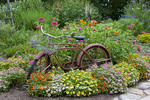 63821-22114 Old bicycle with flower basket in garden with zinnias,  Marion Co., IL