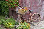 63821-22302 Old bicycle with flower basket next to old outhouse garden shed.   Red Wing Begonias in window box,  Zinnias, Snapdragons  (Antirrhinum sp.) below Marion Co., IL