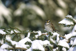 01598-00413 White-throated Sparrow (Zonotrichia albicollis) in winter, Marion Co.   IL