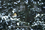 01640-04816 American Goldfinch (Carduelis tristis) on fir tree in winter Marion Co.  IL