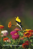 01640-11804 American Goldfinch (Carduelis tristis) male on Zinnias in flower garden Marion Co. IL