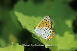 03129-00611 Bronze Copper butterfly (Lycaena hyllus) Karl Bartel Grasslands, Prairie Ridge State Natural Area, Marion Co.  IL