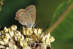 03152-00216 Coral Hairstreak butterfly (Satyrium titus) on Common Milkweed (Asclepias syriaca), Sand Prairie-Scrub Oak Nature Preserve, Mason Co. IL