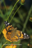 """03406-01006 Painted Lady  butterfly (Vanessa cardui) on Orange Cosmos (Cosmos sulphureus """"Bright Lights"""")  Marion Co.  IL"""