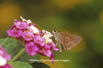 03753-00106 Dun Skipper butterfly (Euphyes vestris) on Lantana sp.  Marion Co. IL