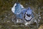 01288-05519 Blue Jay (Cyanocitta cristata) bathing, Marion Co., IL