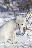01863-01118 Arctic Fox (Alopex lagopus) in snow in winter, Churchill Wildlife Management Area, Churchill, MB Canada