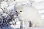01863-01120 Arctic Fox (Alopex lagopus) in snow in winter, Churchill Wildlife Management Area, Churchill, MB Canada