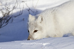 01863-01202 Arctic Fox (Alopex lagopus) in snow in winter, Churchill Wildlife Management Area, Churchill, MB Canada