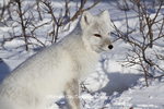 01863-01204 Arctic Fox (Alopex lagopus) in snow in winter, Churchill Wildlife Management Area, Churchill, MB Canada