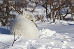 01863-01207 Arctic Fox (Alopex lagopus) in snow in winter, Churchill Wildlife Management Area, Churchill, MB Canada