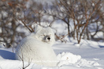 01863-01213 Arctic Fox (Alopex lagopus) in snow in winter, Churchill Wildlife Management Area, Churchill, MB Canada