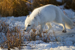 01863-01216 Arctic Fox (Alopex lagopus) in snow in winter, Churchill Wildlife Management Area, Churchill, MB Canada