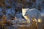 01863-01311 Arctic Fox (Alopex lagopus) in snow in winter, Churchill Wildlife Management Area, Churchill, MB Canada