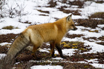 01871-02802 Red Fox (Vulpes vulpes) in snow in winter, Churchill Wildlife Management Area, Churchill, MB Canada