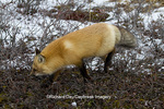 01871-02803 Red Fox (Vulpes vulpes) in snow in winter, Churchill Wildlife Management Area, Churchill, MB Canada