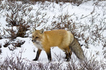 01871-02809 Red Fox (Vulpes vulpes) in snow in winter, Churchill Wildlife Management Area, Churchill, MB Canada
