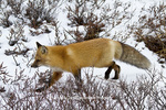 01871-02810 Red Fox (Vulpes vulpes) in snow in winter, Churchill Wildlife Management Area, Churchill, MB Canada