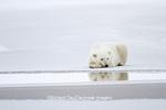 01874-12307 Polar bear (Ursus maritimus) lying on frozen pond, Churchill Wildlife Management Area, Churchill, MB Canada