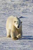 01874-12414 Polar bear (Ursus maritimus) walking in winter, Churchill Wildlife Management Area, Churchill, MB Canada