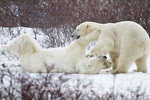 01874-12511 Two Polar bears (Ursus maritimus) sparring, Churchill Wildlife Management Area, Churchill, MB Canada
