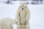 01874-12604 Two Polar bears (Ursus maritimus) sparring in winter, Churchill Wildlife Management Area, Churchill, MB Canada