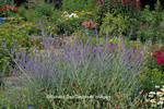 63821-06507 Russian Sage (Perovskia atriplicifolia), Shasta Daisy, &  Pink Garden Phlox in flower garden,  Marion Co.  IL