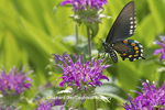 03004-01309 Pipevine Swallowtail butterfly (Battus philenor) on Pink Beebalm (Monarda didyma) Marion Co., IL