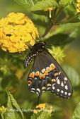 03009-01715 Black Swallowtail butterfly (Papilio polyxenes) male on New Gold Lantana (Lantana camara) Marion Co., IL
