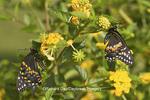 03009-01718 Black Swallowtail butterflies (Papilio polyxenes) male and female on New Gold Lantana (Lantana camara) Marion Co., IL