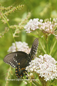 03029-01414 Spicebush Swallowtail butterfly (Papilio troilus) on Swamp Milkweed (Asclepias incarnata) Marion Co., IL